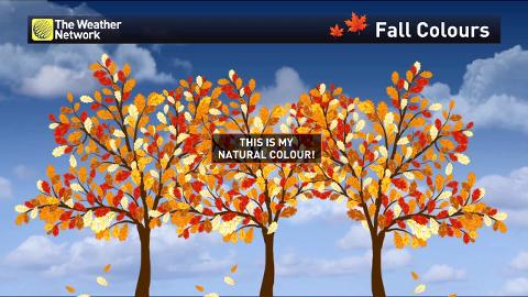 Where to see the best and brightest fall foliage in Canada on canada vegetation map, canada smoke map, canada snow map, canada forest map, canada soil map, canada white map, canada weather map, canada landscape map, canada water map, canada animals map, canada blank map, canada tropical map, canada hardiness map, canada beach map, canada green map, canada terrain map, canada fall map, canada fire map, canada geological features map, canada mountains map,