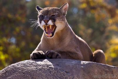 news eastern puma declared extinct in united states here s why